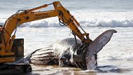 Chainsaw teams face a whale of a dirty job (Video Thumbnail)