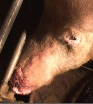 A sow with an injured snout.