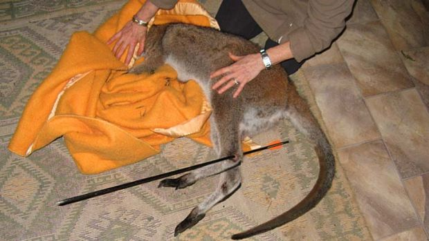 Rescued wallaby ... the joey receives treatment.