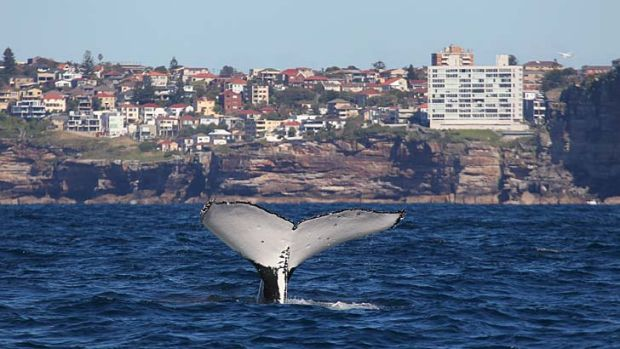 A humpback whale hit by the ferry Collaroy in Sydney Harbour, photographed just off North Head outside the harbour.