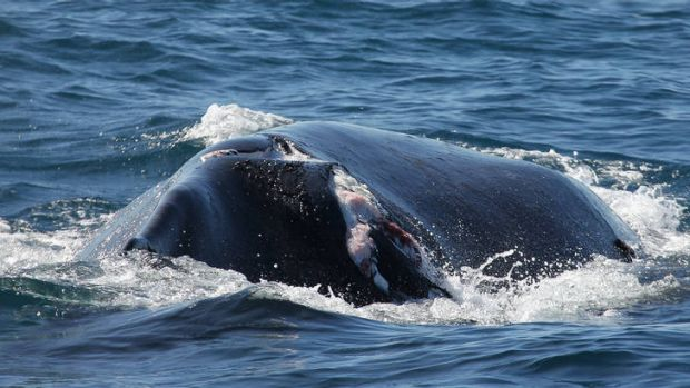 Whale-sized injury ... the humpback's 80-centimetre injury is visible.