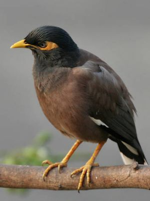 The common myna (<i>Acridotheres tristis</i>).