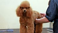 Dogs are  groomed at Pet Design in Lane Cove for this weekends Australian dog grooming competition on in Castle Hill.  ...