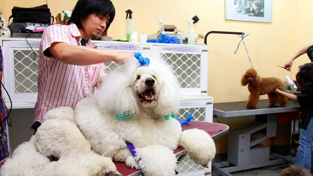 No ruff stuff ... groomer Kazoo Hirae prepares three-year-old white poodle Remi for Purina groomQuest 2012. The ...