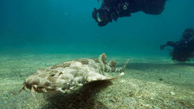 A juvenile wobbegong shark, born in captivity at Sydney Aquarium as part of Sea Life Conservation Fund's breeding ...