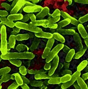 Lostridium histolyticum ... one of the microbes related to obesity.