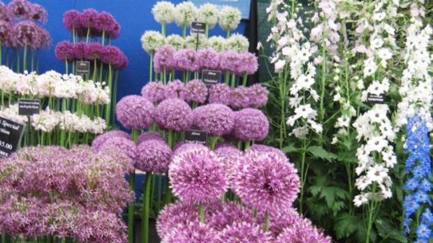 Alliums are gems in the summer garden.