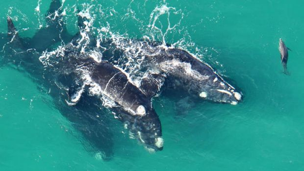 Many whales have been gathering off Port Fairy and Portland recently - and the occasional bottlenose dolphin.