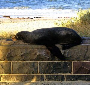 The visiting seal was briefly stuck on top of a bluestone fence.