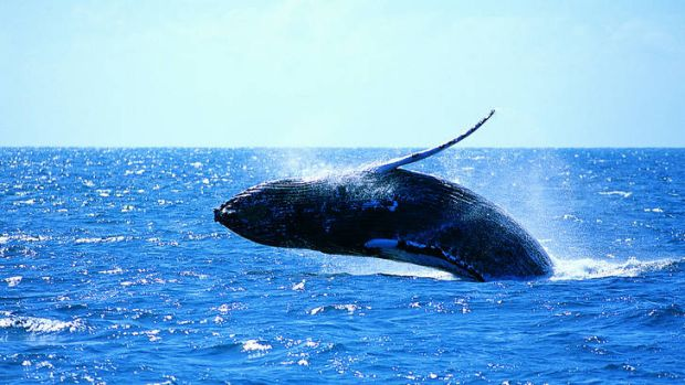 Whale watching is a popular tourist attraction.