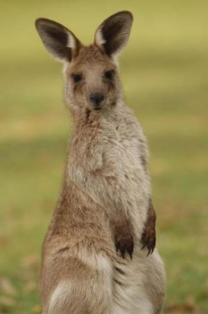 At risk … rangers report seeing animals, including kangaroos, mutilated and shot with arrows.