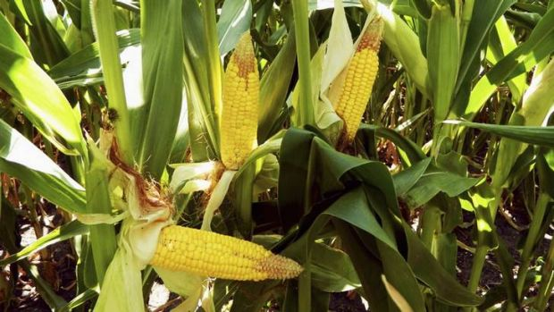 Controversy has erupted over new French scientific research claiming that genetically modified corn and the herbicide ...