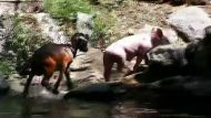 Heroic pig rescues goat at US petting zoo (Video Thumbnail)