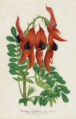 Sturt's Desert Pea published by Ambroise Verschaffelt, part of Capturing Flora at Ballarat Art Gallery.