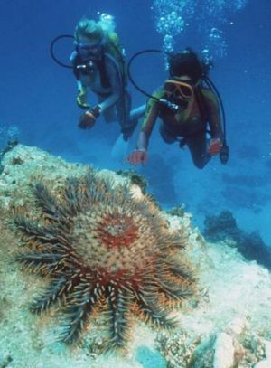 The crown-of-thorns starfish.