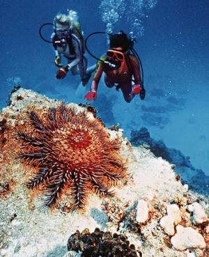 Coral killer ... the crown-of-thorns starfish.