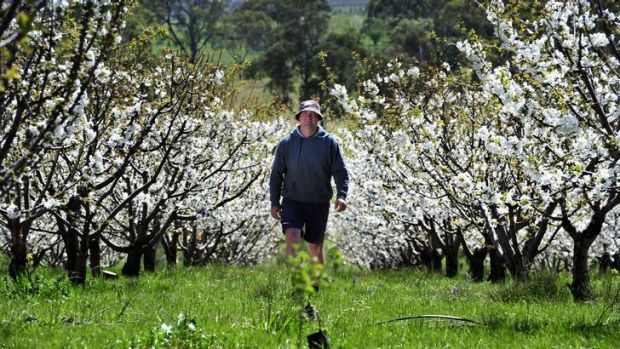 Valley Fresh Cherry and Stone Fruit Orchard owner Barisha Batinich walks through the blossoming trees on his property ...