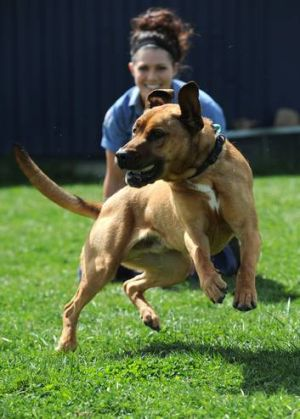 Carmen Taylor with three-year-old Hudson, a Labrador/mastiff cross, at the RSPCA refuge.