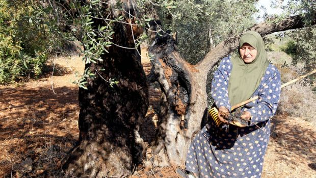 A Palestinian woman in Qarut, near Nablus, shows the damage of one of her ancient olive trees which she says was set on ...