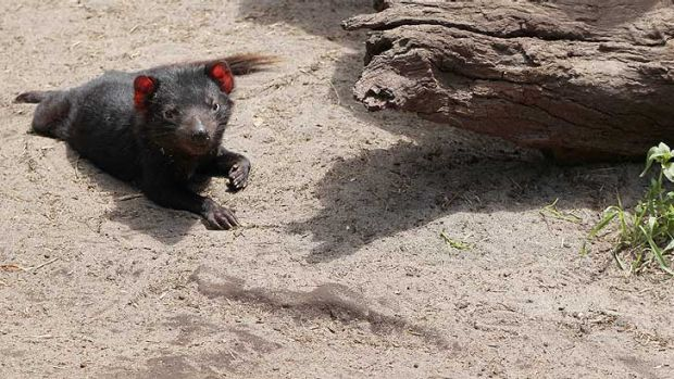 One of the Tasmanian Devils that didn't manage to escape Peel Zoo.