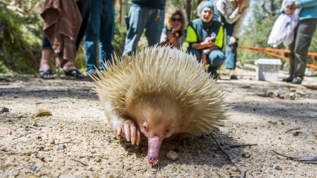 Casper the albino echidna goes for a walk before being released into a remote location at Tidbinbilla Nature Reserve.