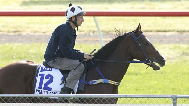 Blooming ... French stayer Prairie Star works at Werribee this week in preparation for his debut in the $150,000 David ...