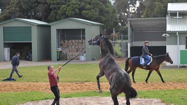 Good mates: Scottish-born handler Alex Cairns puts the much-travelled Jakkalberry through his paces at Werribee ...