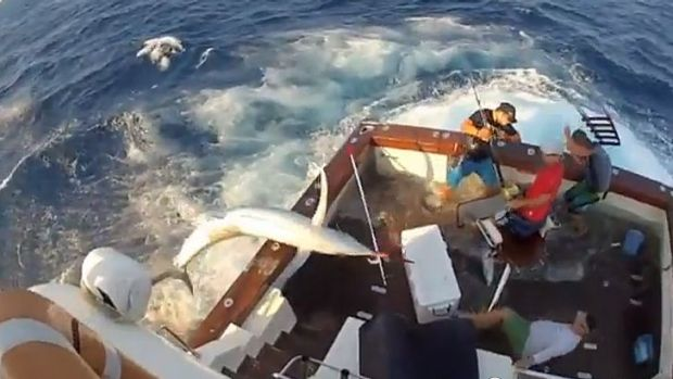 A marlin makes an unexpected appearance on a north Queensland fishing boat. Part of the boat is seen striking a crew ...