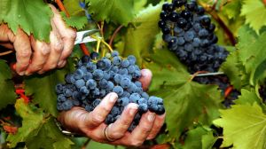 Rich pickings: Treasury expects its premium wines to boost profits in the second half.