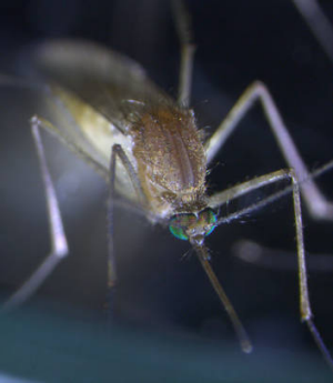 A Culex pipiens mosquito, which can transmit viruses such as West Nile and Murray Valley encephalitis..  THE AGE . ...