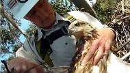 Sea eagle chick rescue (Video Thumbnail)