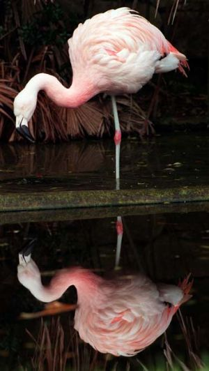 A flamingo is on the loose in Japan.