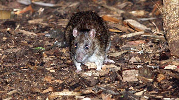 New threat ... 'Rats are incredibly good swimmers. And they can climb'