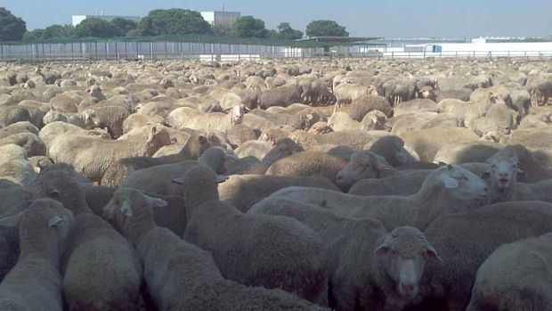 Culled brutally … the Australian sheep in the Karachi feedlot.