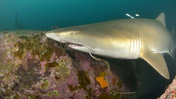 At risk ... grey nurse shark.