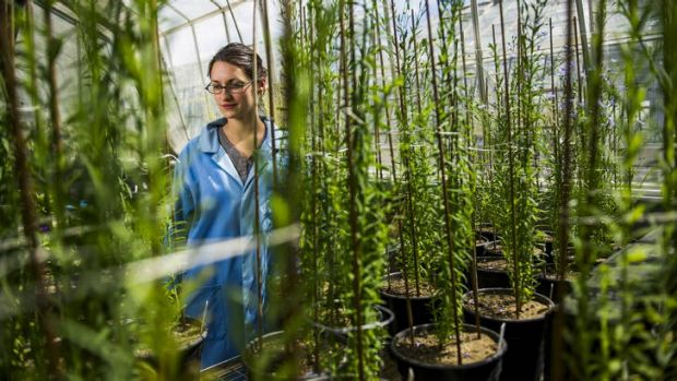 Research scientist, Dr Maud Bernoux with undiseased flax plants which are being used in her study.