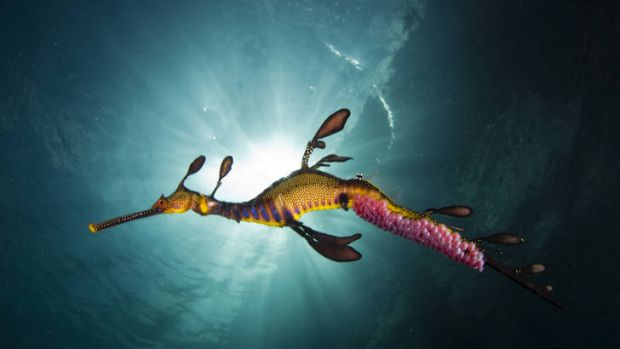 Richard Wylie's photo of a weedy seadragon in Victorian waters won a National Geographic photography award.