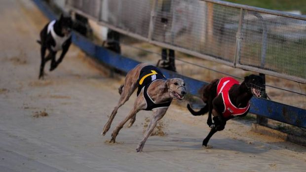 She Can Sew, in the red rug, wins the Cannonball 310m final at Canberra greyhound club.