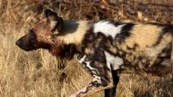 Wild dogs attack a young boy at the zoo (Video Thumbnail)