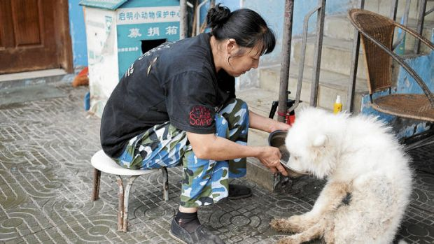 Helping hands … Qiming worker Peng Tianxiu feeds an injured dog.