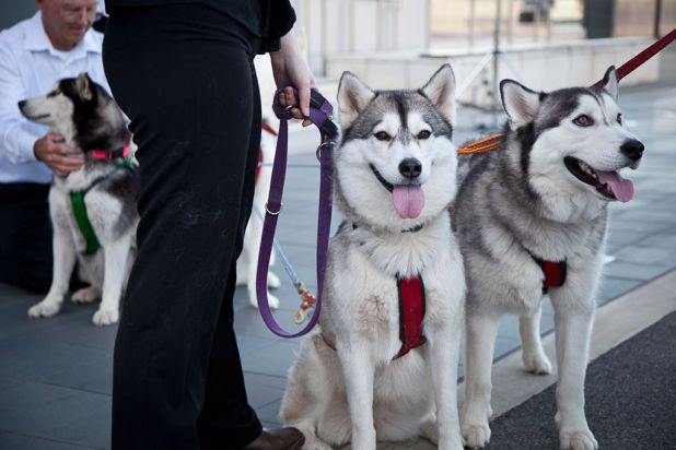 Huskies from the Western Australian Sleddog Sports Association
