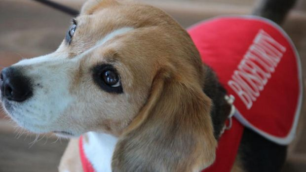 Beagles and labradors working for the Australian Quarantine and Inspection Service are set to be evicted from their ...
