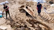 Whale skeleton emerges from sandy depths (Video Thumbnail)