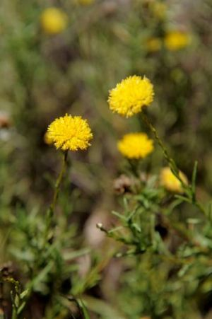 A nationally endagered daisy, the Button Wrinklewort has been able to flourish with extensive weed control being ...