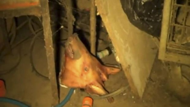 YouTube screen grabs of recent footage taken in Wally's piggery.