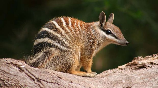 Threatened species: the numbat.