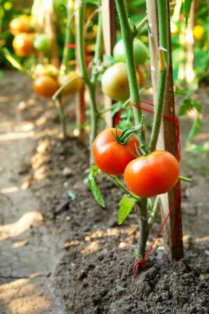 Tomatoes are one of the first crops to harvest