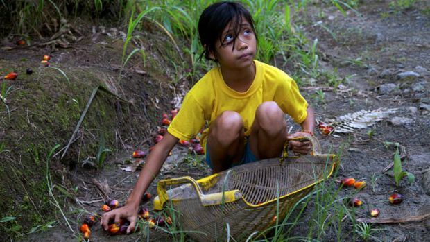 A 12-year-old Indonesian girl without legal documents gathers palm oil nuts on a small plantation in Borneo.