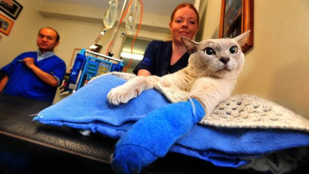 Dr Jonathan Young and veterinary nurse Rachel McNamara treat Jack the cat of Duffy who has been bitten by a snake.