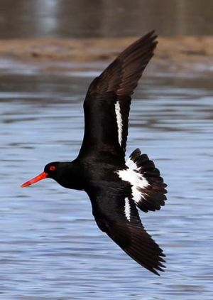 Endangered … a pied oystercatcher in North Byron.